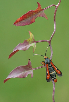 Fiery clearwing moth