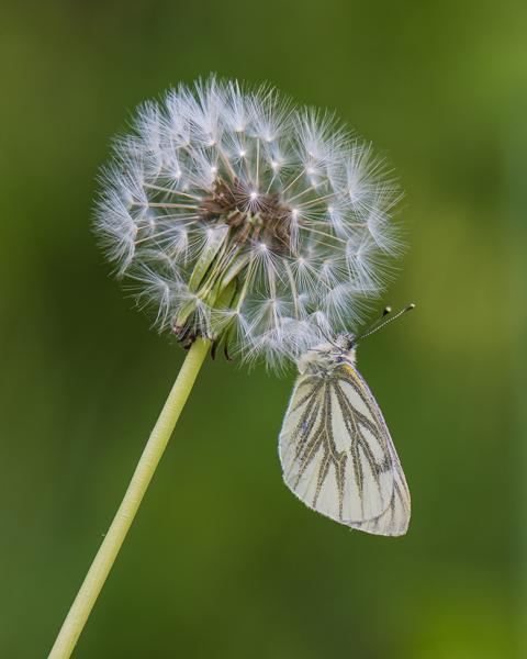 Green-veined White600