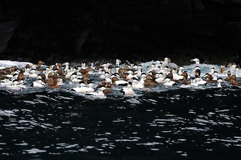 Common Eider Raft
