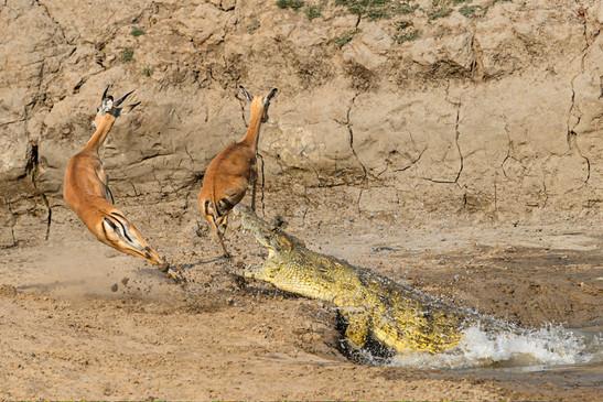 Nile crocodile and Impalas