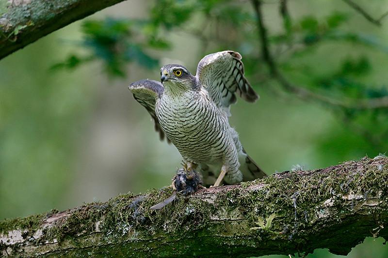 Sparrowhawk E7328