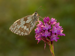 Marbled white butterfly on Pyramidal orchard