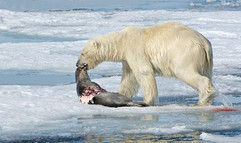 Polar Bear with seal kill
