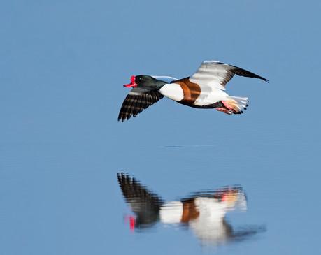 Shelduck in flight