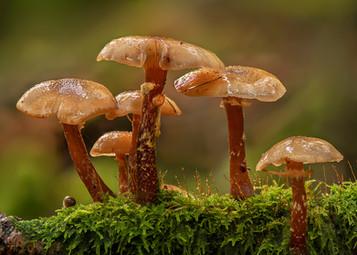 Honey Fungi