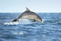 Bottle-nosed dolphin Tursiops truncatus, Adult, Low breach out of the sea, Summer, Moray Firth, Scotland, UK, July
