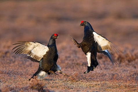 Blackcock fighting