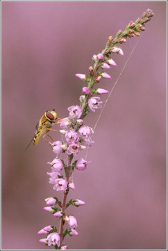 Hoverfly on heather
