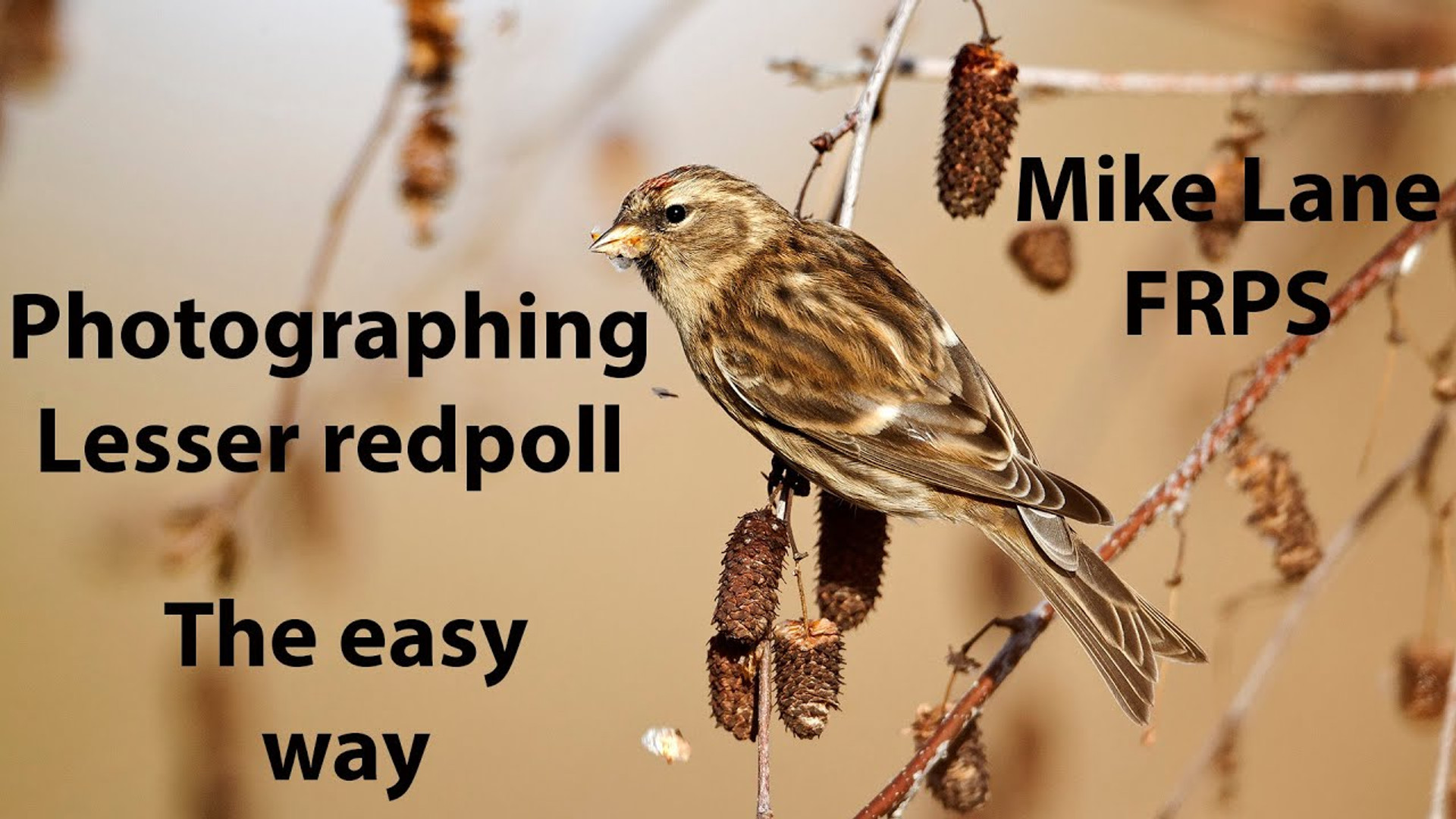 Photographing Lesser redpolls