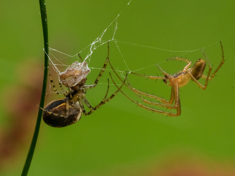 Autumn Orb-weaver spider