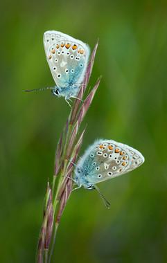 Common-blue Butterflies