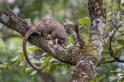 Tree pangolin