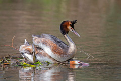 Great-crested grebes post copulation
