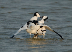 Avocets after mating