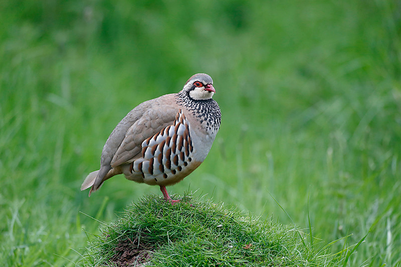 Red-legged partridge, Alectoris rufa