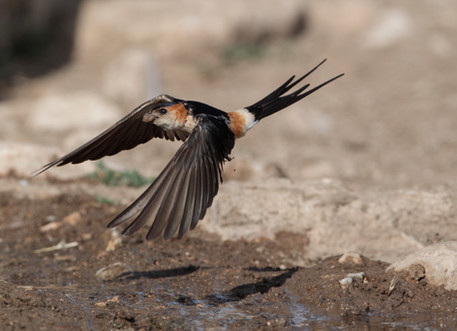 Red-rumped swallow A0057.jpg