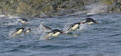 Adelie penguins porpoising