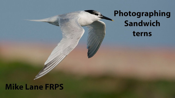 Photographing Sandwich terns at Cemlyn Bay.