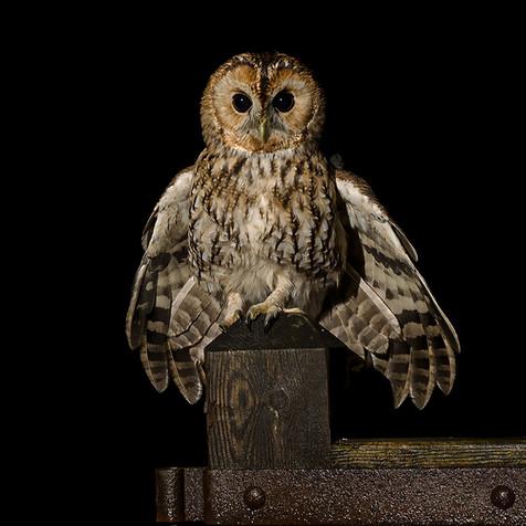 Tawny owl landing on a gate