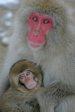 Snow monkey 50045.jpg