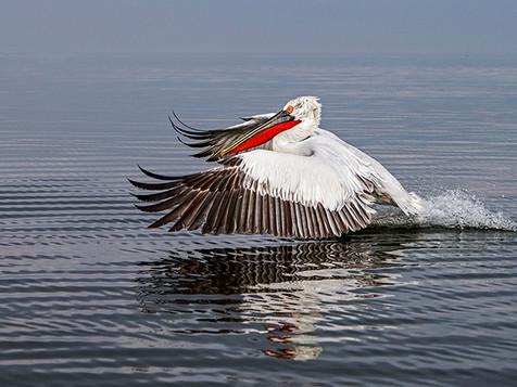 Dalmation Pelican 3770.jpg