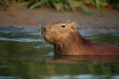 Capybara 71584.jpg
