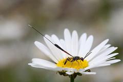 Ichneumon wasp, gasteruption jaculator
