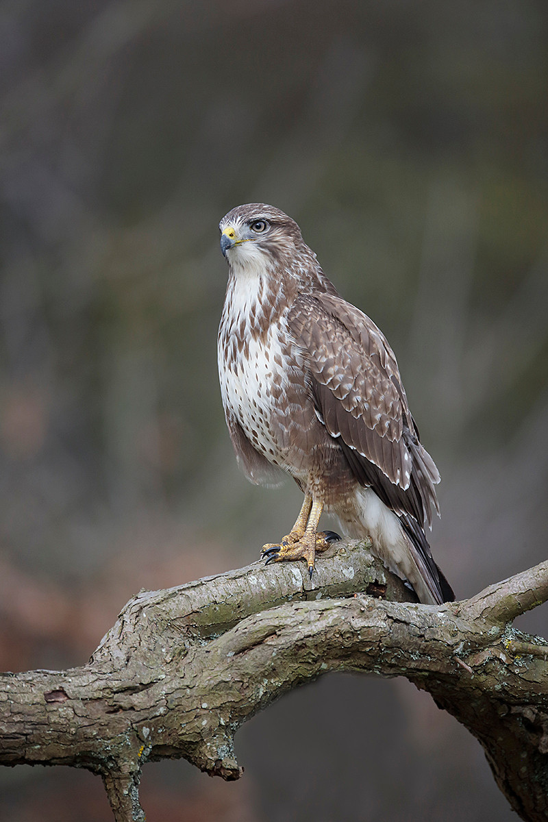 Common buzzard 0391
