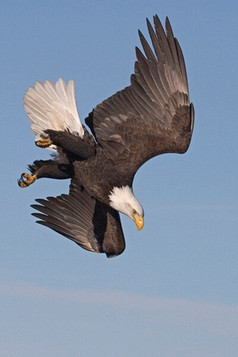 Bald eagle dive