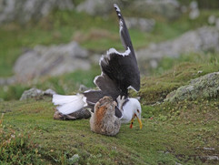 Rabbit attacking great black-backed gull