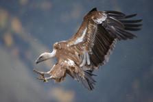 Griffon vulture 83272.jpg