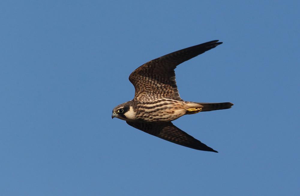 Hobby, Falco subbuteo, single bird in flight, Warwickshire, September 2013