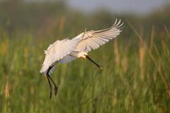 Eurasian spoonbill landing in reeds