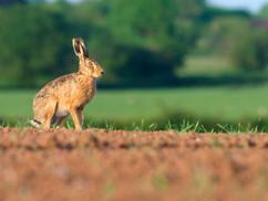 European brown hare H5810.jpg