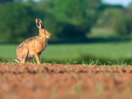 European brown hare H5810.jpg