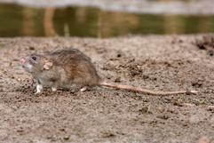 Brown rat 91562.jpg