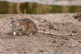 Brown rat 91562.jpg