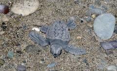 Loggeerhead turtle baby hatching