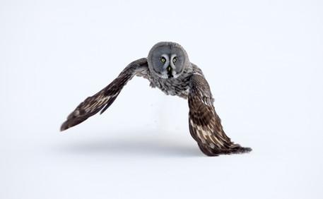 Great-grey owl 93906.jpg