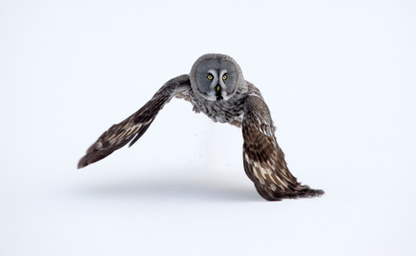 Great-grey owl 93906.jpg