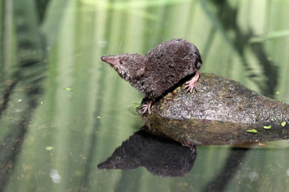 Water shrew, Neomys fodiens, single shrew on rock by water, Warwickshire, July 2010