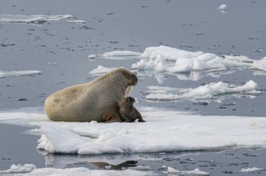 Walrus and calf