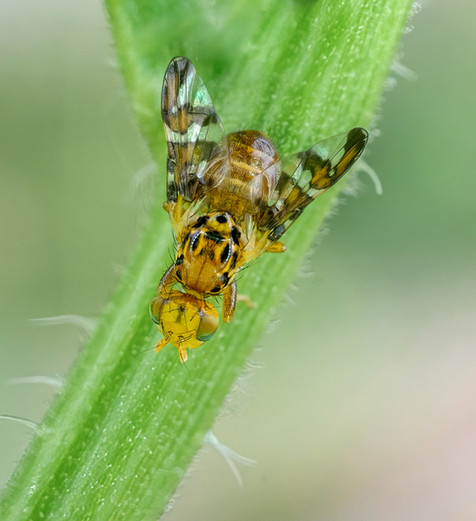 White bryony fly