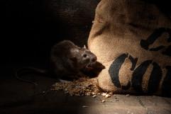 Brown rat 91996.jpg