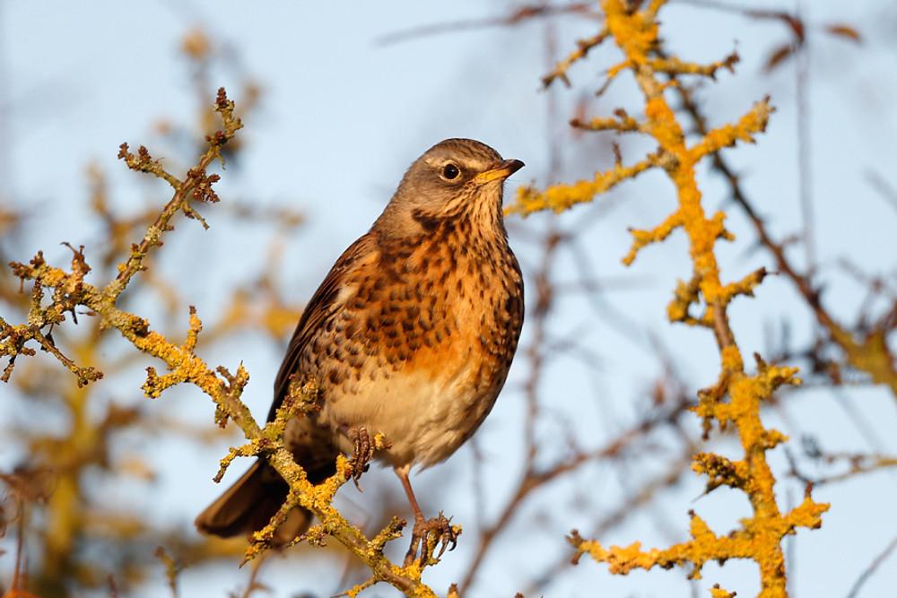 Fieldfare, Turdus pilaris, single bird on branch. Warwickshire, November 2013