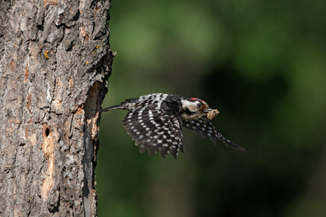 Lesser-spotted woodpecker A0196.jpg