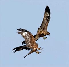Black-eared kites