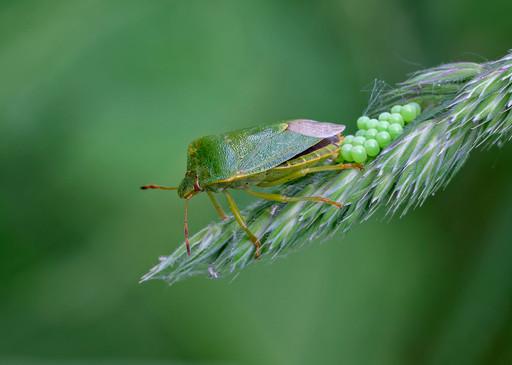 Green shieldbug egg laying.