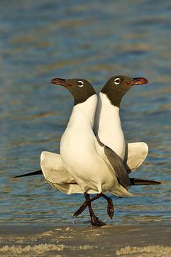 Laughing gulls courtship ballet