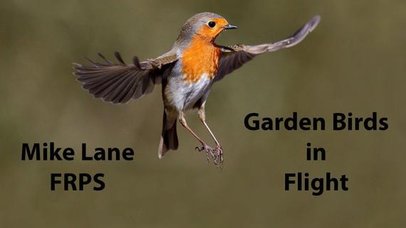 Garden Birds in Flight
